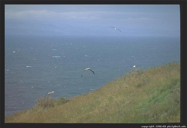 Albatross Flying - Otago Peninsula, New Zealand