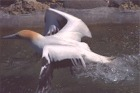 Gannet - New Zealand