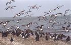 Oystercatchers in Flight - New Zealand