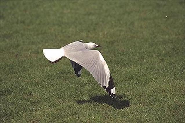 Seagull - New Zealand