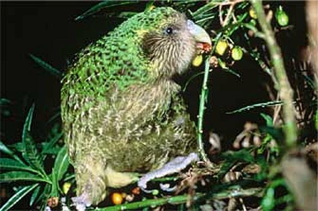 New Zealand Kakapo Bird