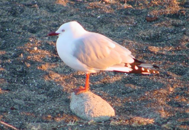 Seagull at Napier New Zealand