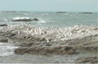 Gulls gathered at the Kaikoura Seal Colony