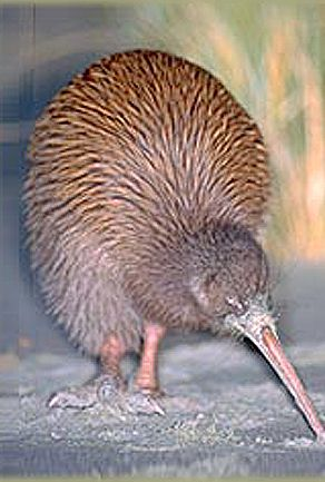 New Zealand Kiwi Bird