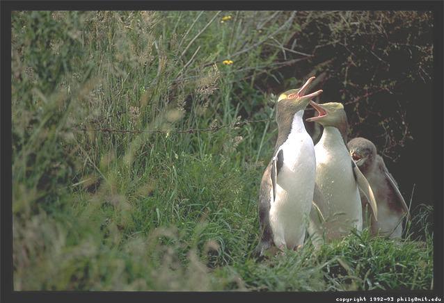 Yellow Eyed Penguins - Otago Peninsula, South Island of New Zealand