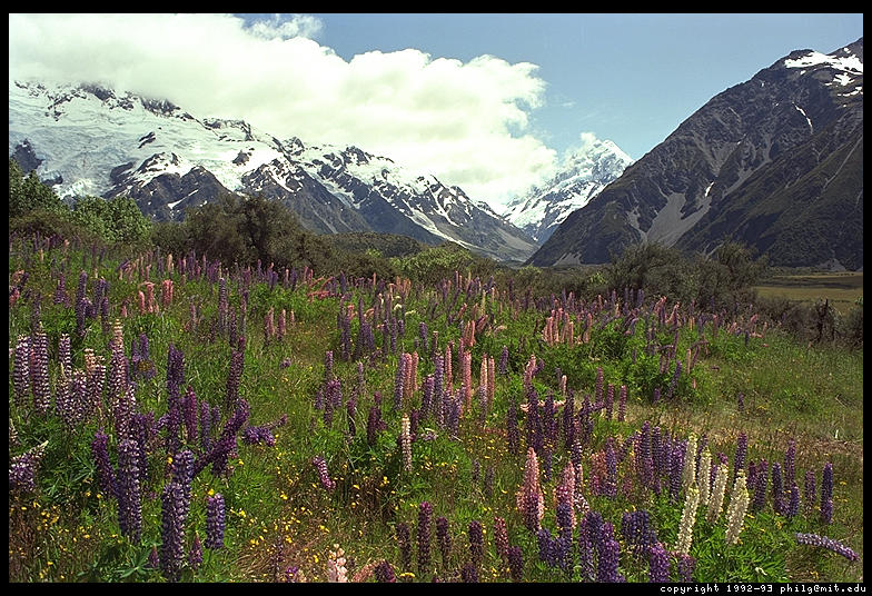 Lupines, Mountain - South Island, New Zealand
