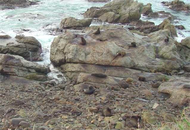 Photograph of the Ohau Fur Seal Colony - Kaikoura, New Zealand
