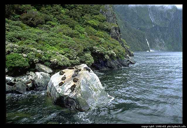 Photograph of a Milford Sound Seal Colony - New Zealand