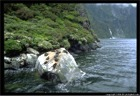 Milford Sound Seal Colony