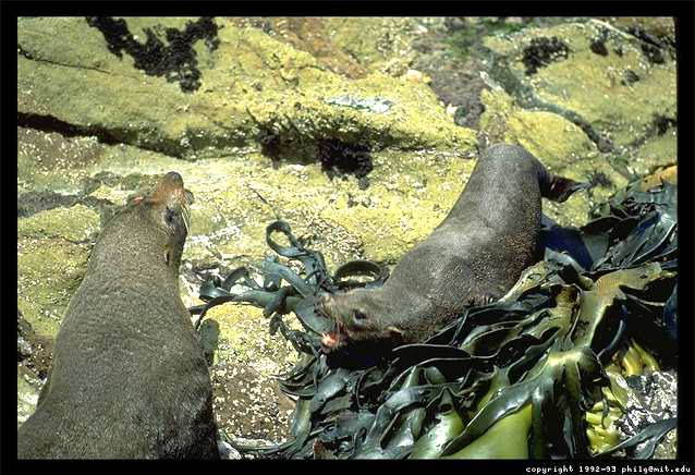 A photograph of two New Zealand seals