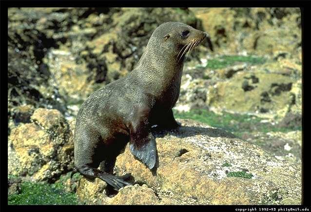 A New Zealand seal photograph.