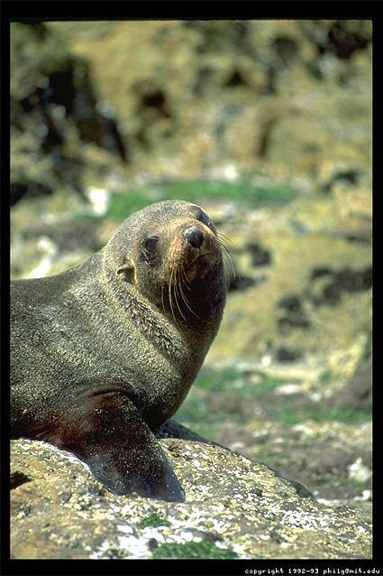 New Zealand seal photograph