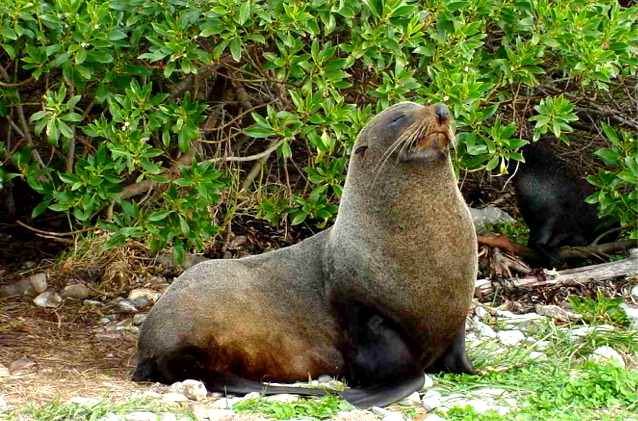 The fur seal is a frequent occupant at the Seal Colony located on the tip of the Kaikoura peninsula.